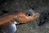 Blackbelly Eelpout, Lycodes pacifi
