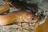 Eels - Snake Eel, Ophichthus triserialis; redondo beach; photo by Scott Gietler