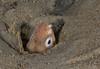 Eels - Snake Eel, Ophichthus triserialis
