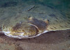 Flatfish - California Halibut, Paralichthys californicus; La Jolla; Photo by Scott Gietler