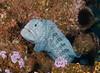 Eels - Wolf Eel, Anarrhichthys ocellatus; Farnsworth Banks; Photo by Scott Gietler