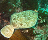 Flatfish - C-O Sole, Pleuronichthys coenosus; Catalina; photo by Scott Gietler