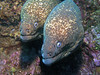 Eels - Moray Eel, Gymnothorax mordax; Laguna beach; photo by Scott Gietler