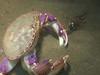 Crabs - Graceful crab, Cancer gracilis