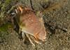 Crabs - Platymera guadichaudii (formerly Mursia guadichaudii) Armed Box Crab