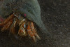 Crabs - Hermit Crab, Isocheles pilosus
