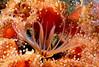 Barnacles - Balanus nubilus, Giant acorn barnacle; photo by Kevin Lee