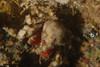 Crabs - Pelia tumida, Dwarf Teardrop Crab