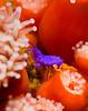 Amphipods - Podocerus cristatus; Photo by Allison Vitsky