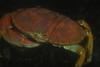 Crabs - Cancer anthonyi, Yellow Rock Crab