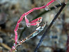 Caprellids - Skeleton Shrimp; Vet's Park; photo by Scott Gietler