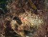 Crabs - Loxorhynchus crispatus, Moss Crab