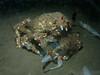 Crabs - Loxorhynchus grandis, Sheep Crab