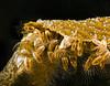 Barnacles - Lepus species, Vet's, 70ft; photo by Scott Gietler