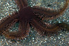 Brittle Stars - Ophiopteris papillosa; photo by Kevin Lee