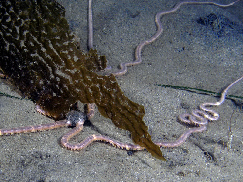 Brittle Stars - Long-armed brittle star; photo by Kevin Lee