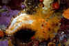 Cucumbers - Eupenacta quinquesemita *(tentative), Orange sea cucumber; photo by Kevin Lee