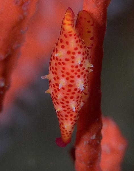Snails - Delonovolva aequalis, Simnia snail; photo by Scott Gietler