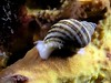 Snails - Nucella emarginata, emarginate dogwinkle; Photo by Kevin Lee