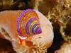 Snails - Blue-ring topsnail, Calliostoma annulatum; Photo by Scott Gietler