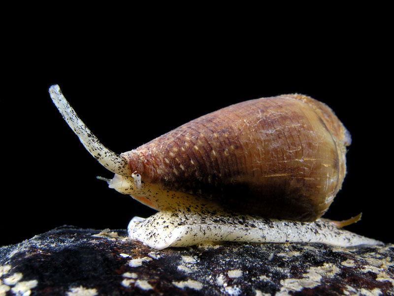 Snails - California cone snail, Conus californicus; Photo by Kevin Lee