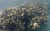 Bivalves - California Mussel, Mytilus californianus