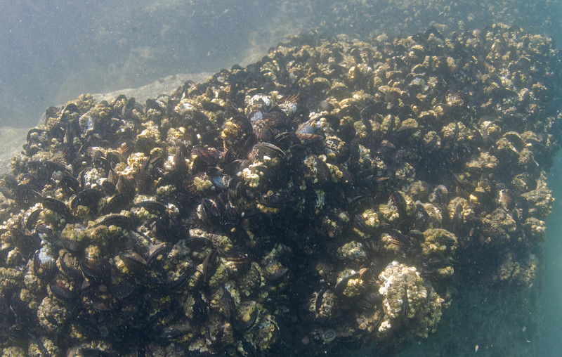 Bivalves - California Mussel, Mytilus californianus