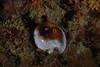Snails - Chestnut Cowrie, mantle withdrawn, Cypraea spadicea