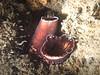 Bivalves - Wartneck piddock clam, Chaceia ovoidea