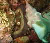 Octopus, Two-Spot, Octopus bimaculatus; Catalina