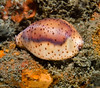 Snails - Chestnut Cowrie, Cypraea spadicea , mantle out; photo by Scott Gietler