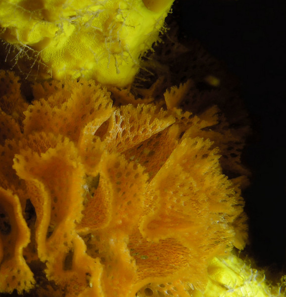 Bryozoans - Lacy Bryozoan, Phidolopora labiata; photo by Kevin Lee
