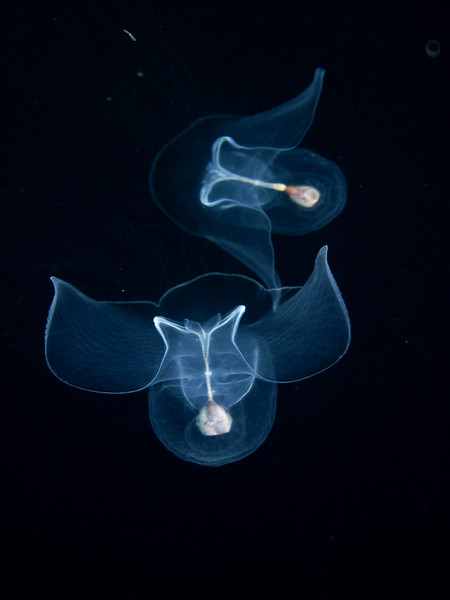 Pteropods - Corolla calceola; photo by Tracy Clark