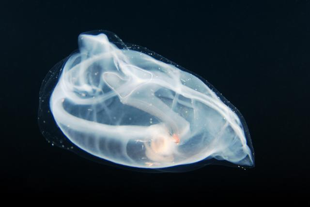 Salps - unknown 2; photo by Kevin Lee