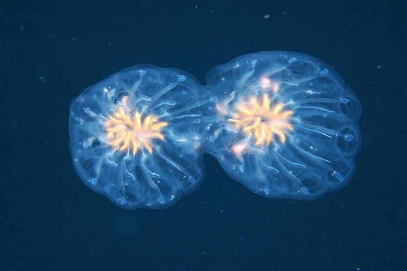 Salps - Cyclosalpa affinis; photo by Tracy Clark