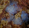 Tunicates - unknown; Shaw's cove; Photo by Scott Gietler