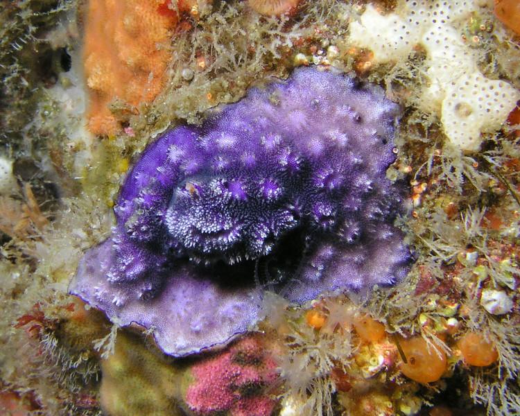 Bryozoans - Disporella species, Purple encrusting Bryozoan; photo by Debbie Karimoto
