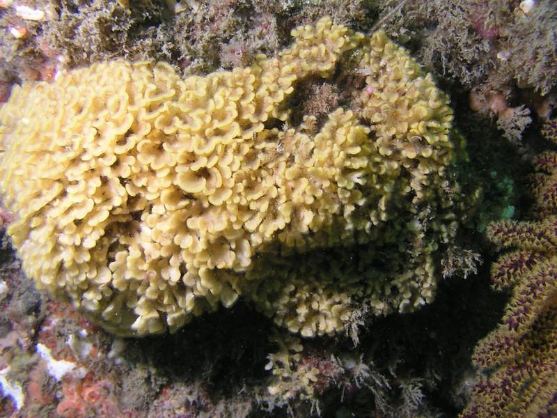 Bryozoans - Diaperoecia californica, Southern Staghorn Bryozoan; photo by Debbie Karimoto