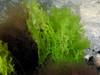 Sea lettuce, Ulva species; photo by Kevin Lee