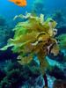 Sea palm, Eisenia arborea; photo by Kevin Lee
