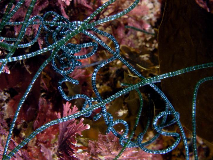 Algae - Chaetomorpha spiralis; photo by Kevin Lee