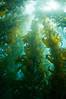 Macrocystis fibrosis, kelp