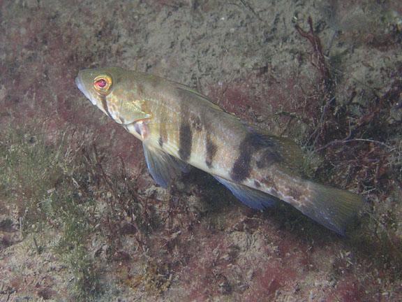 Bass - Barred Sand Bass, juvenile; photo by Debbie Karimoto