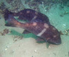 Black Croaker, Cheilotrema saturnum, intermediate form; Malibu; photo by Scott Gietler