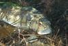 Bass - Barred sand bass; Paralabrax nebulifer; redondo beach; photo by Scott Gietler
