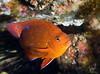 Garibaldi, Hypsypops rubicundus, juvenile; Catalina; photo by Scott Gietler