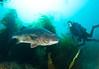 Bass - Black Sea Bass;  Stereolepis gigas; catalina; photo by Scott Gietler