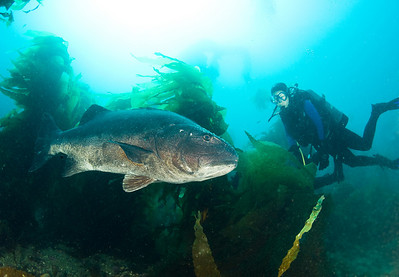 Bass - Black Sea Bass;  Stereolepis gigas; catalina; photo by Scott Gietler