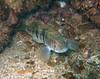 Bass - Barred sand bass; Paralabrax nebulifer; malibu; photo by Scott Gietler