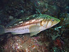 Bass - Calico or Kelp bass; Paralabrax clathratus; Catalina; photo by Scott Gietler